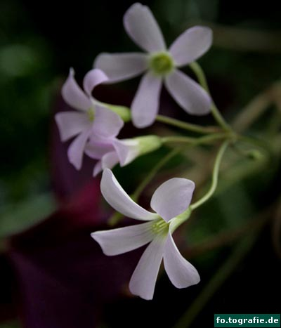glucksklee-oxalis-triangularis-21