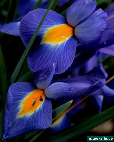 zwergiris-iris-reticulata-1