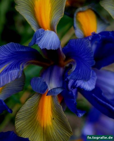 zwergiris-iris-reticulata-2