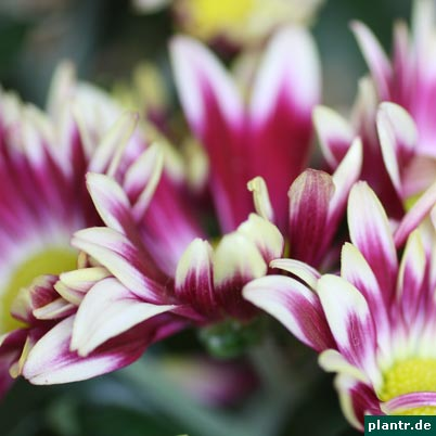 chrysanthme blueten
