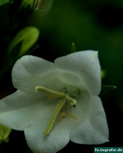 glockenblume-2
