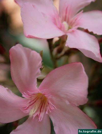 oleander-nerium-oleander1