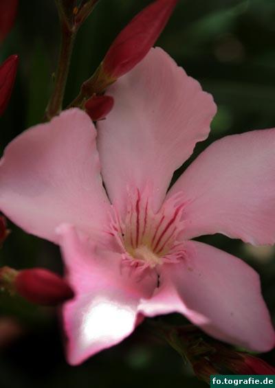 oleander-nerium