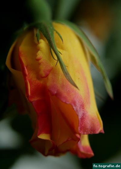 rosen-1