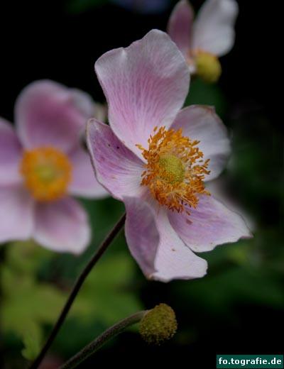 Anemone 1