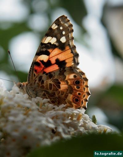 Schmetterling auf Flieder1 Kopie