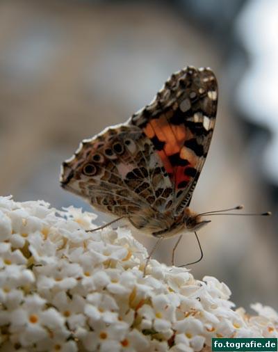 Schmetterling auf Flieder2 Kopie