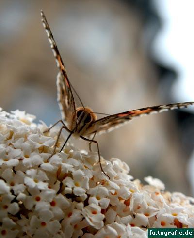 Schmetterling auf Flieder3 Kopie