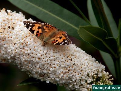 Schmetterling auf Flieder4 Kopie