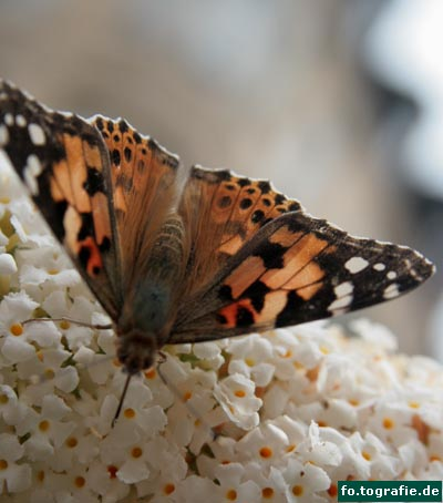 Schmetterling auf Flieder5 Kopie