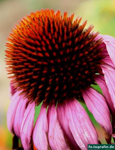 Echinacea purpurea 2