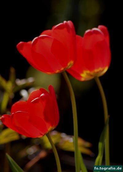 Tulpen 002 Kopie