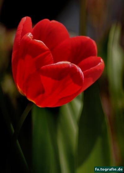 Tulpen 039 Kopie