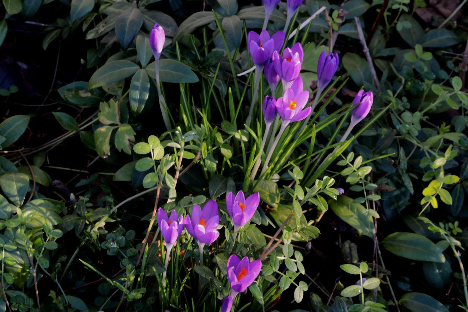 Frühlings-Krokusse